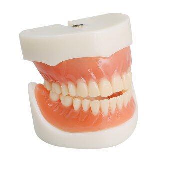 Dental Teach Study Adult Standard Demonstration Model Teeth - intl