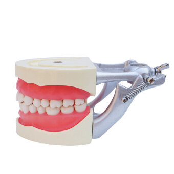 Dental Teach Study Adult Standard Typodont Demonstration Model Teeth - intl
