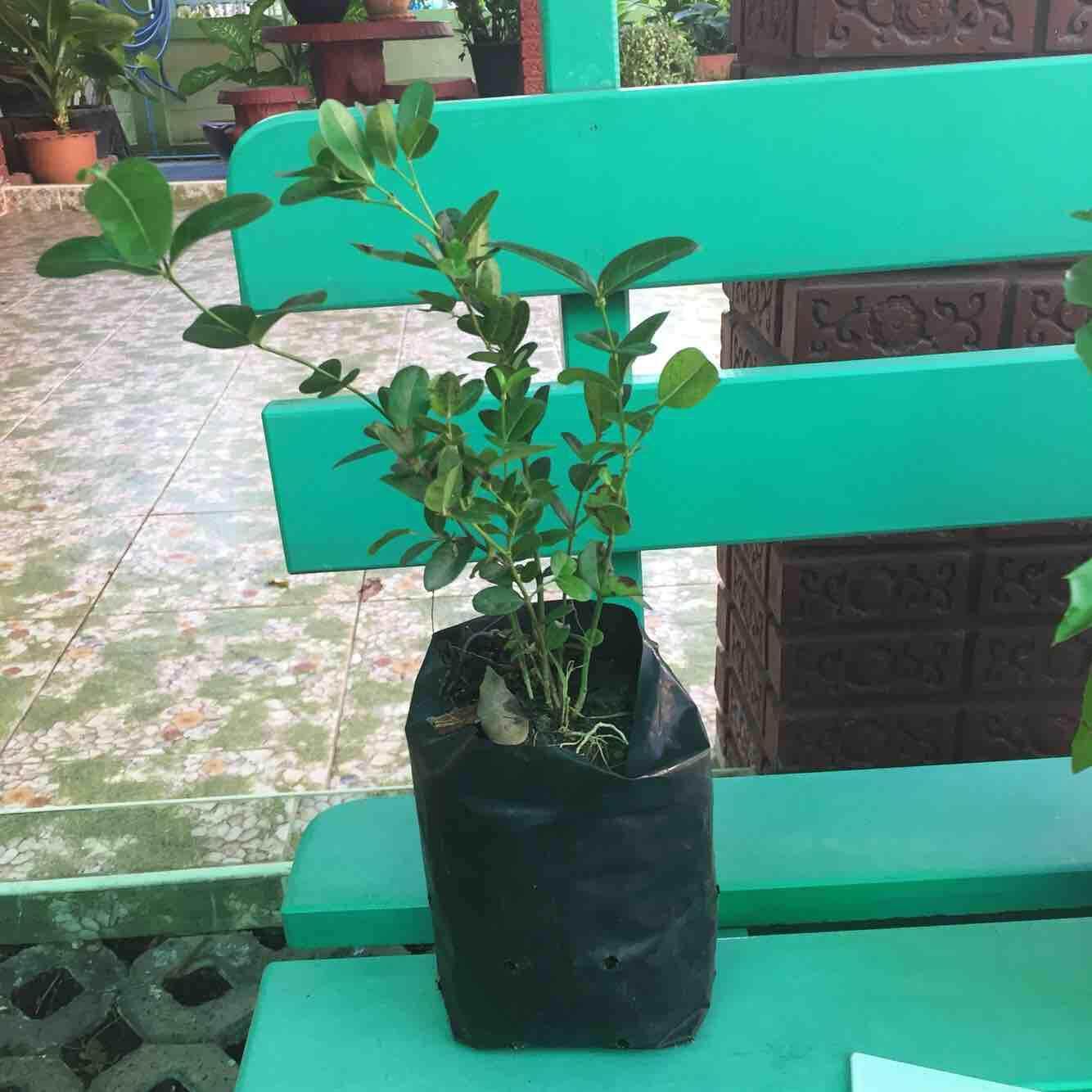 มะม่วงหาวมะนาวโห่ By Aj Garden.