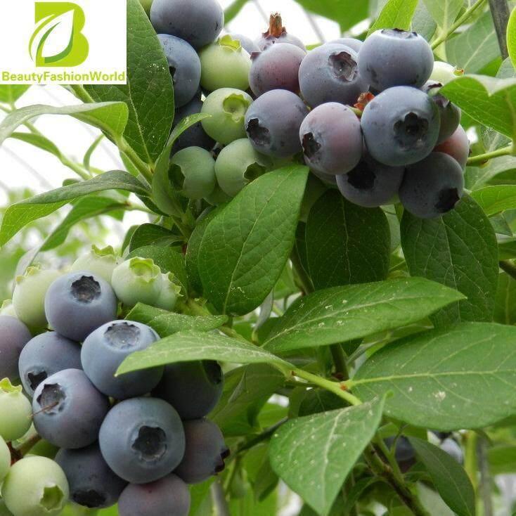 Beautyfashionworld 30 ชิ้น Highbush บลูเบอร์รี่เอเวอร์กรีน Vaccinium เมล็ดพืชผลไม้สำหรับบ้าน - นานาชาติ.