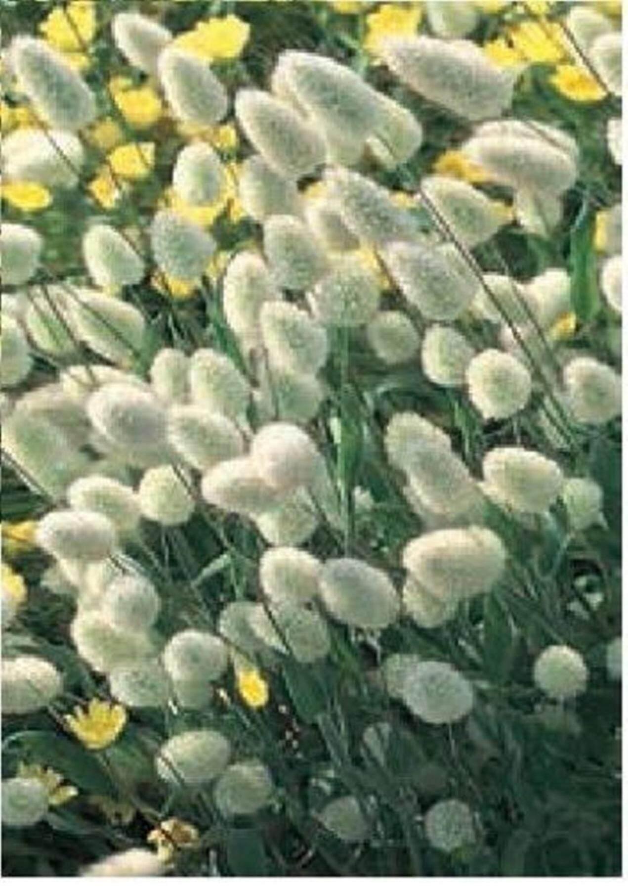 ขายส่ง 100 เมล็ด เมล็ดพันธุ์หญ้าหางกระต่าย Bunny Tails Grass เมล็ดพันธุ์นำเข้า ต้นไม้และเมล็ดพันธุ์ เมล็ดพันธุ์พืช หญ้าหางกระต่าย คละสี หญ้าประดับ เมล็ดพันธุ์ไม้ดอก-ไม้ประดับ Seedsflowering-Ornamentalplants หญ้า หญ้าแดง ดอกไม้แห้ง ดอกหญ้าแห้ง พืชเศรษฐกิจ By Artistic.