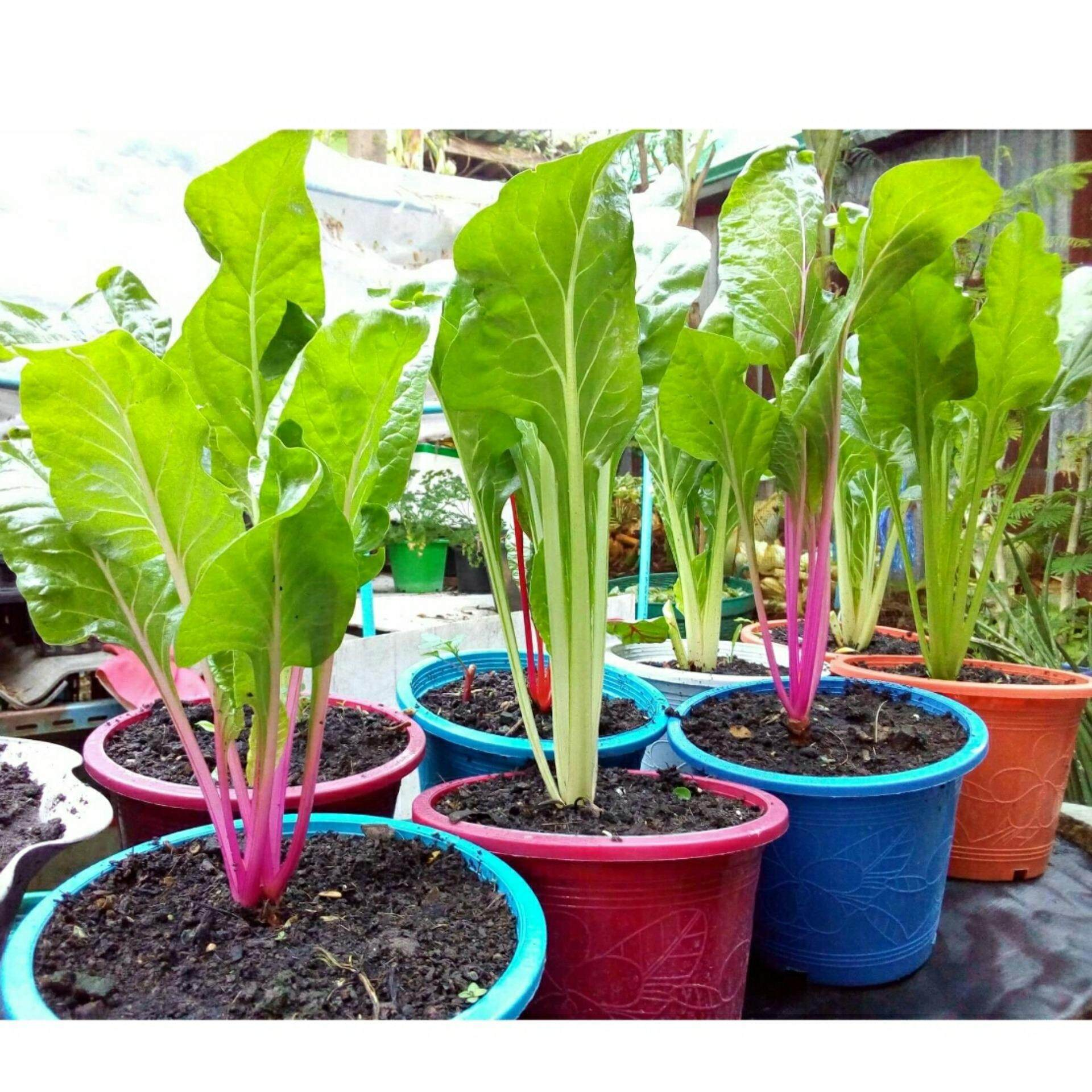 เมล็ดพันธุ์ เมล็ดพืช ผักสวนครัว Swiss Chard ผักกาดสายรุ้ง จำนวน 30 เมล็ด อัตราการงอกสูง
