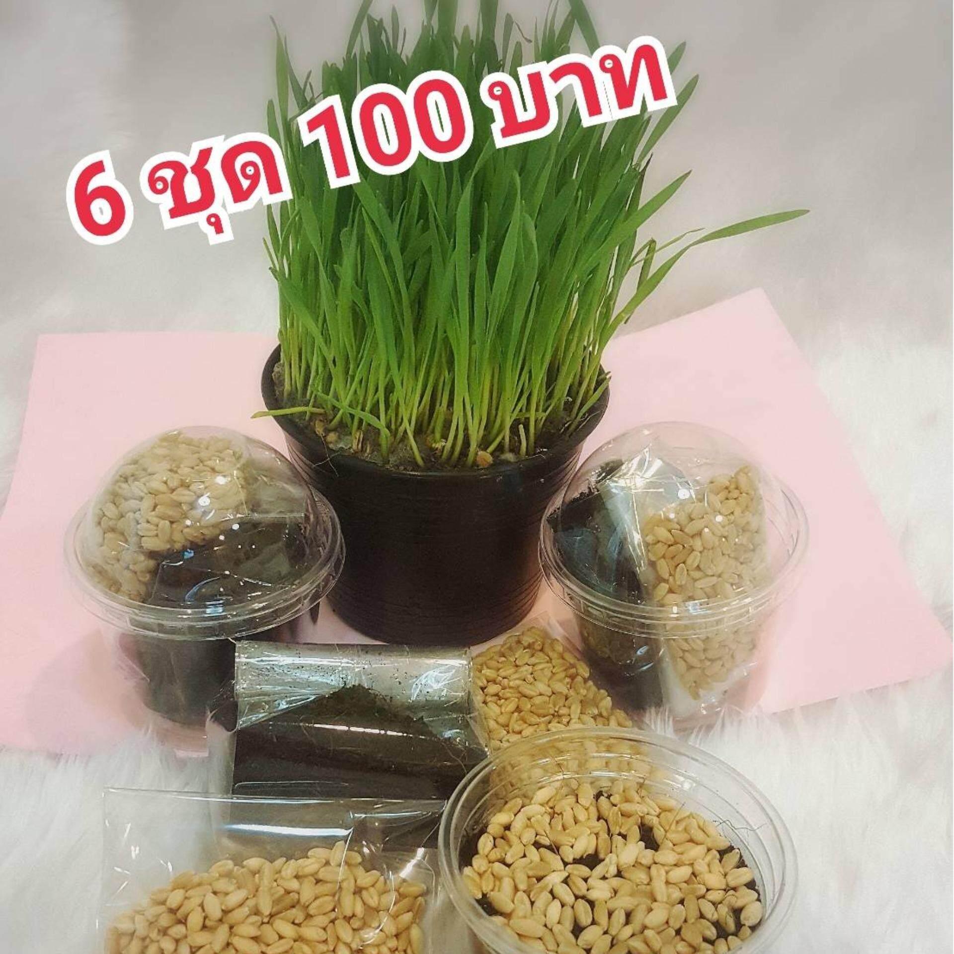 แพ๊ค 6 ชุด ชุดปลูกข้าวสาลี Organic By Wheatgrass.