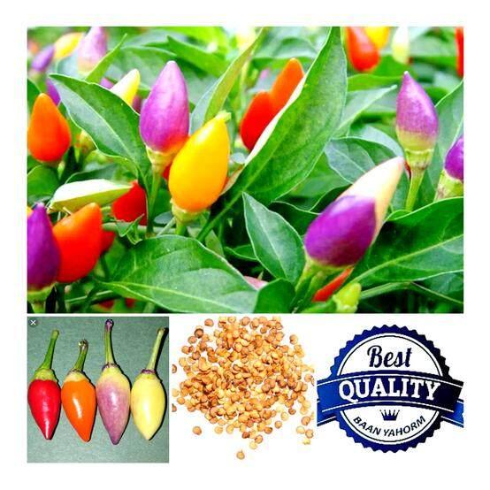 ซื้อ เมล็ดพืช Seeds พริกประดับ สีรุ้ง Bolivian Rainbow Pepper เมล็ดพันธุ์ คุณภาพนำเข้า 30 เมล็ด Seeds ออนไลน์