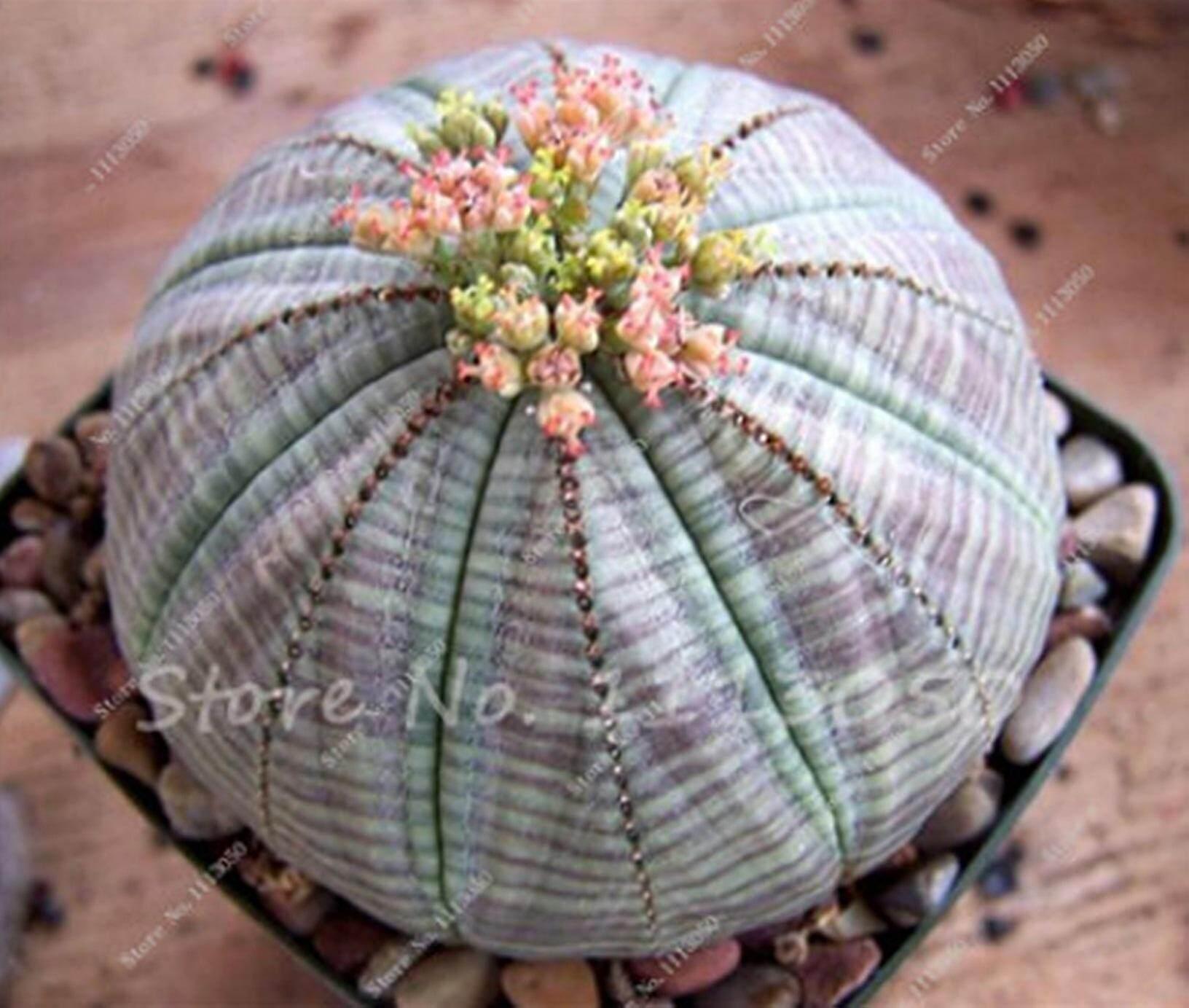 100 เมล็ดแคคตัส เมล็ดกระบอกเพชร เมล็ดพันธุ์ Cactus กระบองเพชรจิ๋ว ต้นกระบองเพชร กระบองเพชร ไม้อวบน้ำ พืชอวบน้ำ Succulent  ต้นไม้ ไม้มงคล ไม้เล็ก ธรรมชาติ ต้นไม้ตั้งโต๊ะ จัดสวน ไม้หนาม ของชำรวย ของขวัญ ของแต่งบ้าน แคคตัสน่ารัก แคคตัสสวยๆ 1113050.