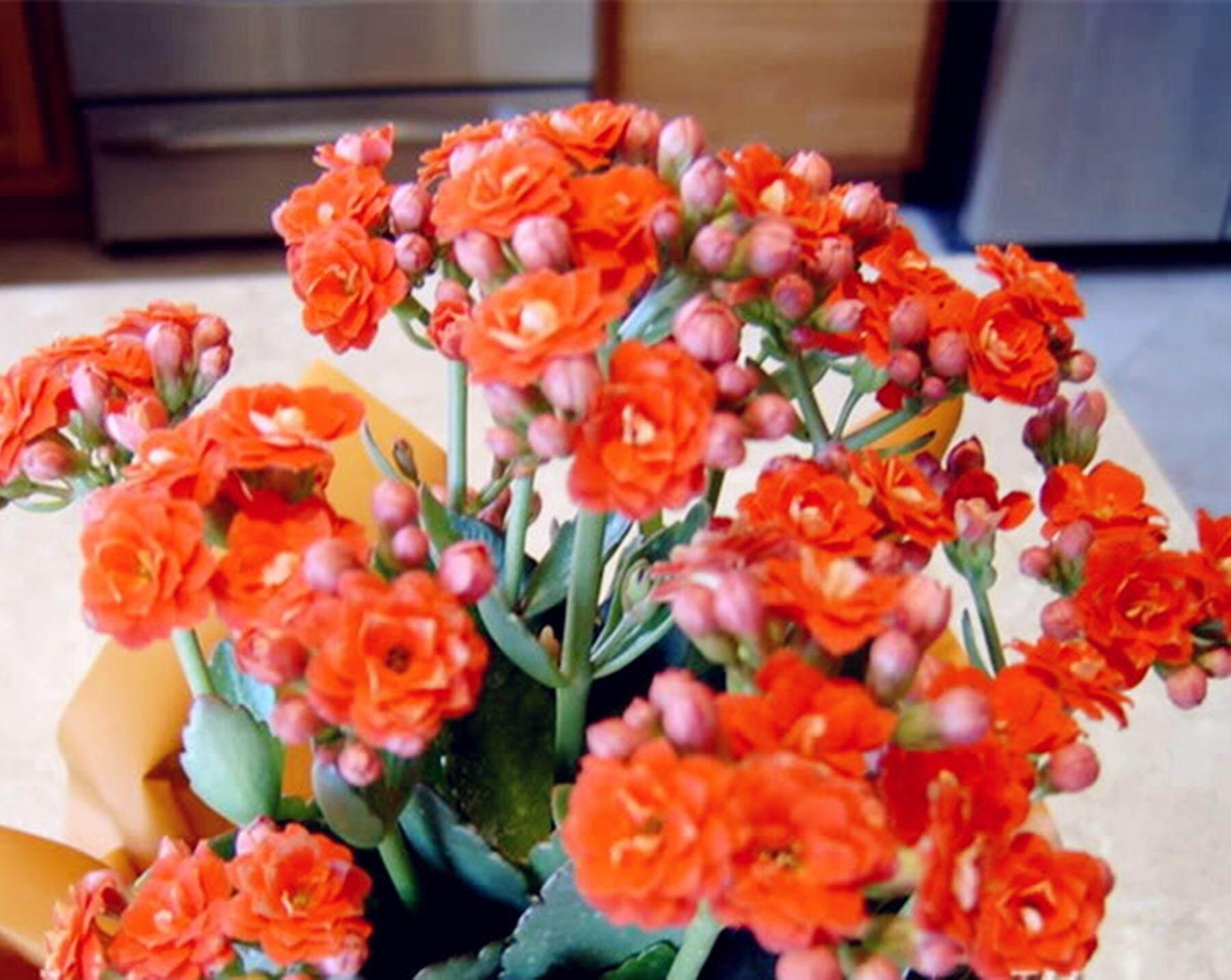 ขายส่ง 100 เมล็ด กุหลาบหิน Kalanchoe Blossfeldiana กาลังโช Kalanchoe วงศ์กุหลาบหิน Crassulaceae ไม้พุ่มอวบน้ำ ไม้มงคล แคคตัส ไม้อวบน้ำ กระบองเพชร เมล็ดพันธุ์นำเข้า ไม้สวยงาม Flaming Katy ไลทอป Succulent Cactus ต้นไม้มงคล ต้นไม้จิ๋ว ต้นไม้นำโชค Wholesale By Mongkol Life