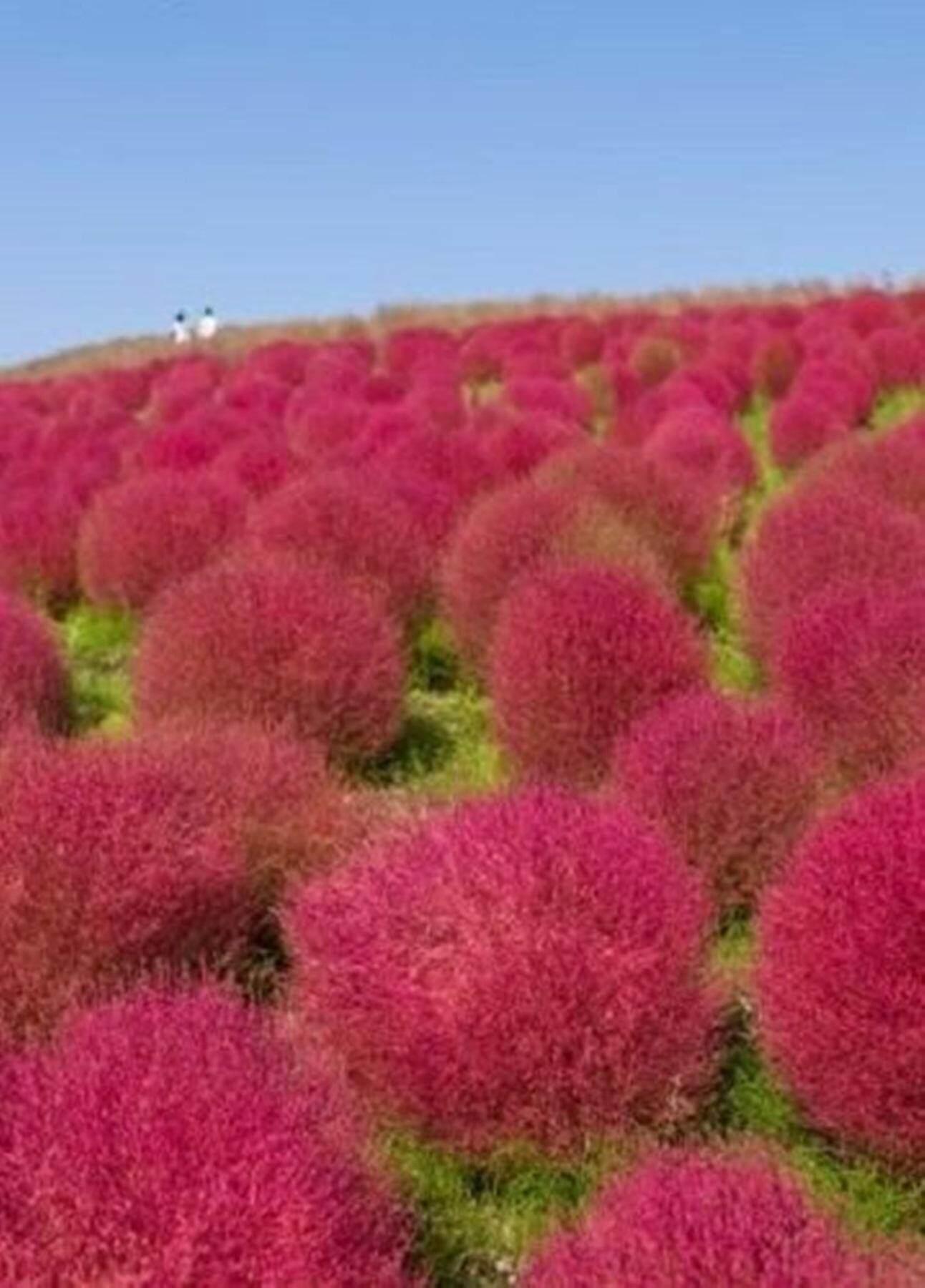 ขายส่ง 100 เมล็ด Summer Cypress ต้น Summer Cypress เมล็ดพันธุ์นำเข้า สวนต้นไม้ เมล็ดพันธุ์ดอกไม้ คละสี ไม้ดอก ดอกไม้ป่า เมล็ดพันธุ์ไม้ดอก-ไม้ประดับ ดอกไม้ ดอกไม้เมืองหนาว ไม้ตัดดอก ดอกไม้แห้ง ช่อดอกไม้ ดอกไม้ประดิษฐ์ ดอกไม้หายาก พืชบอนไซ By Mongkol Life.