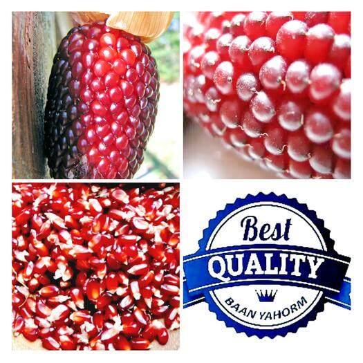 ราคา เมล็ดพืช Seeds ข้าวโพด สตรอเบอร์รี Strawberry Corn เมล็ดพันธุ์นำเข้า 20 เมล็ด ที่สุด