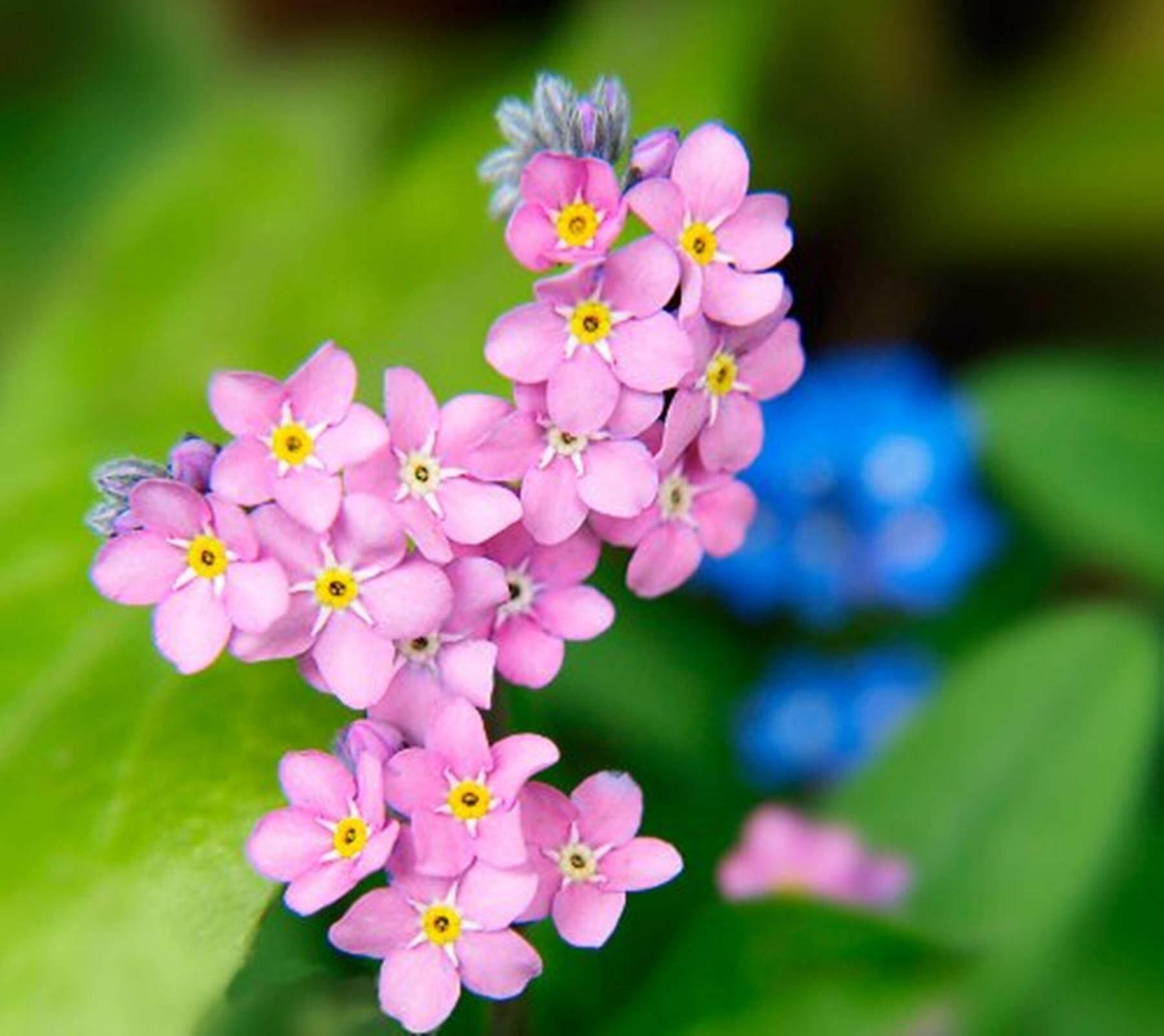ขายส่ง 100 เมล็ด เมล็ดพันธุ์ดอกฟอร์เก็ตมีน็อต For Get Me Not อย่าลืมฉัน ต้นไม้สัญลักษณ์แห่งความรัก ดอกไม้สีสวย Angelface Pin แวววิเชียร ไม้ประดับ เมล็ดพันธุ์นำเข้า ชาดอกไม้ ดอกไชนีส ฟอร์เก็ตมีน็อต Chinese Forget Me Not เทียนญี่ปุ่น Wholesale. By Nature.