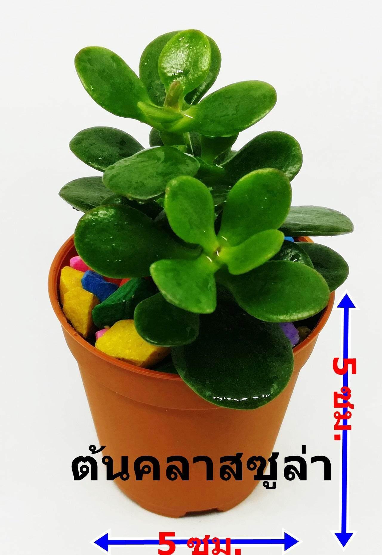 ราคา ต้นคลาสซูล่า ต้นไม้สวรรค์ ต้นใบเงิน Crassula Jade Plant ภาพถ่ายจากสินค้าจริง บอนไซ Money Plant ต้นมันนี่ ต้นไม้จิ๋ว ต้นไม้มงคล เรียกทรัพย์ เสริมดวง Mongkol Life ออนไลน์