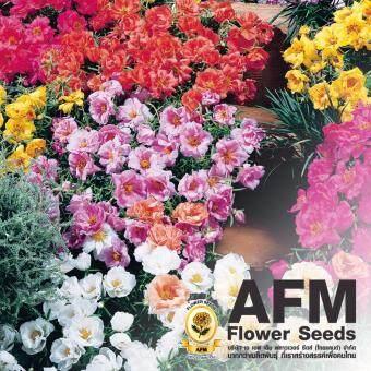 AFM เมล็ดพันธุ์ดอกแพรเซี่ยงไฮ้ (3 ซอง)