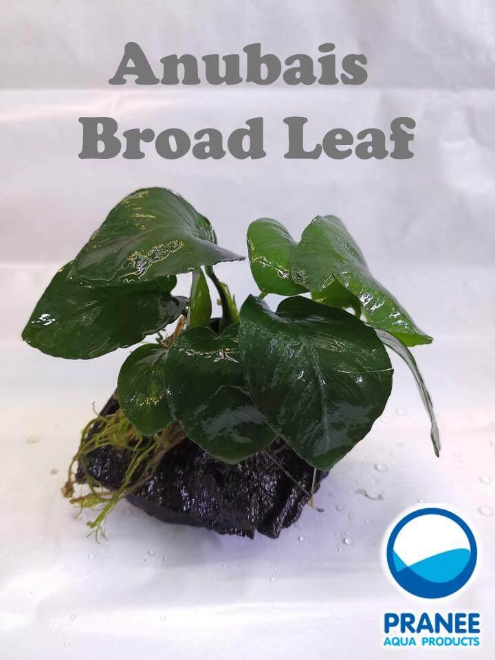 ขอนไม้ติดต้นอนูเบียส Broad Leaf