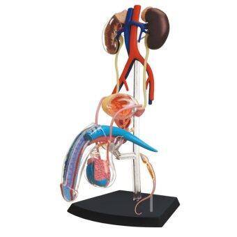 4D Vision หุ่นจำลองอวัยวะเพศชาย 4 มิติ