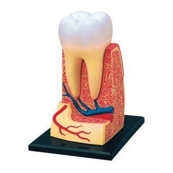 4D Vision หุ่นจำลองฟันกราม 4 มิติ