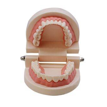 หมอสอนนักศึกษาผู้ใหญ่ Typodont สาธิตรุ่นมาตรฐานฟัน