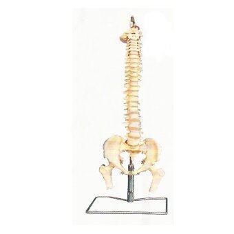 NKHC Anatomy model: NK- A11105 หุ่นจำลองกระดูกสันหลัง และกระดูกเชิงกราน